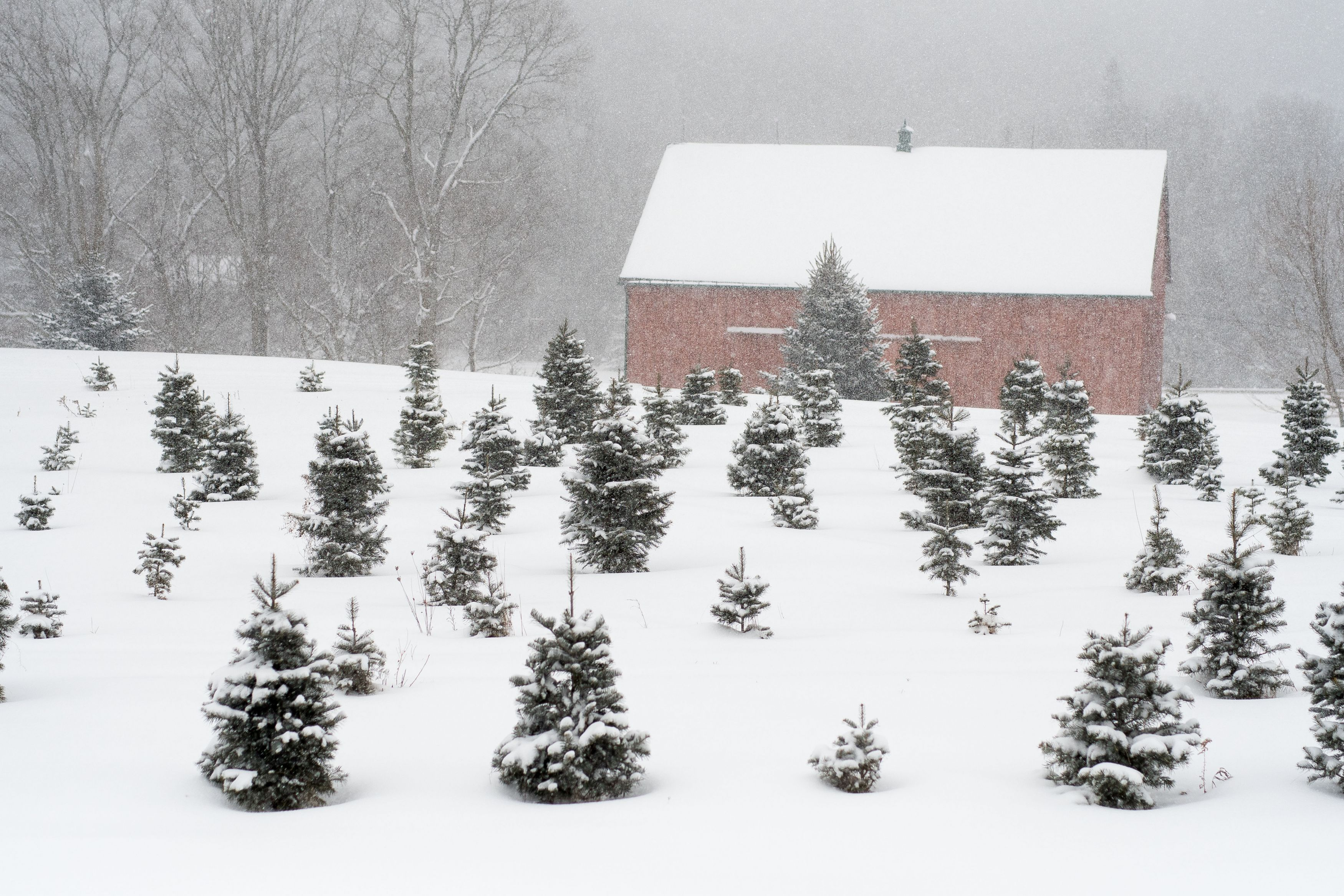 barn and evergreen trees covered in snow