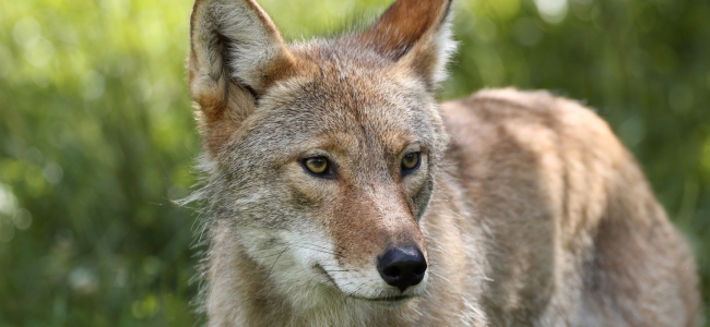 Coyote Predation Program