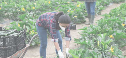 A man and woman wearing protective masks are harvesting a row of zucchini plants.